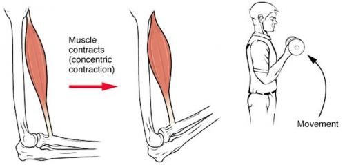 La concentration musculaire concentrique : en se contractant, le muscle se raccourcit, les articulations se rapprochent.