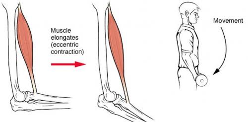 La contraction musculaire excentrique : quand le muscle se contracte, il s'allonge, la distance entre 2 articulations s'allongent.
