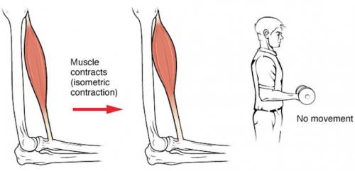 La contraction musculaire isométrique, le muscle se contracte sans que sa longueur ne change.