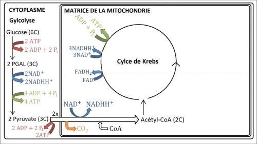 le mécanisme complexe dy cycle de Krebs