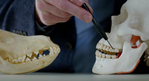 Dentition de l'etre humain VS dentition d'un carnivore, casser le mythe