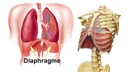 diaphragme, respiration diaphragmatique, apnée, relaxation