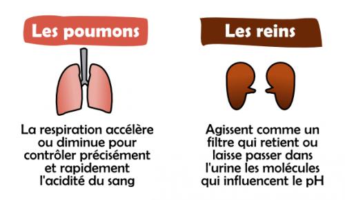 poumons et reins régulent l'équilibre acido-basique de l'organisme