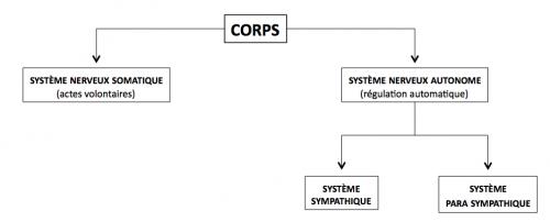 Système nerveux somatique et sytème nerveux autonome : le fonctionnement de l'organisme humain