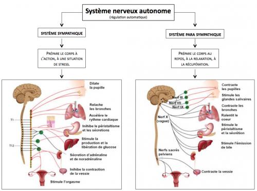 Fonctionnement du système nerveux autonome