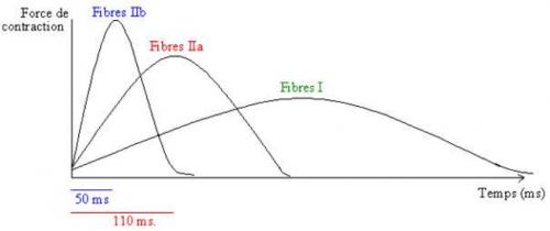 Force de contraction des différentes fibres musculaires