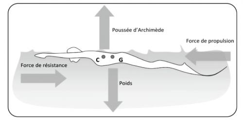 Bilan des forces appliquées à l'apnéiste monopalmeur
