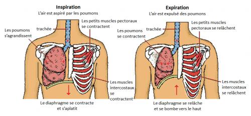 les muscles ventilatoires chez l'être humain et l'apnéiste