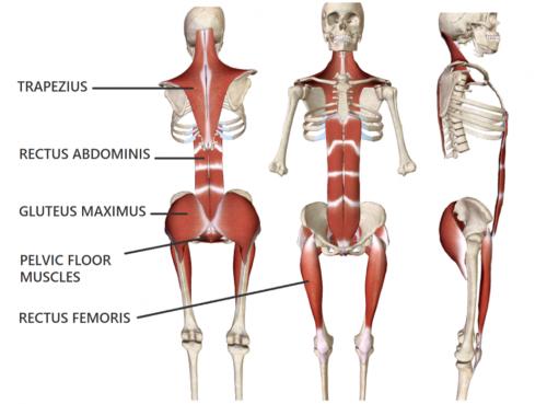 Les muscles posturaux peuvent être renforcés, chez l'apnéiste et le sportif, avec des exercices de gainage et un entrainement isométrique
