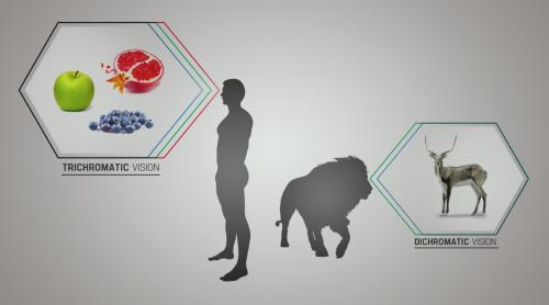 Contrairement à vision des carnivores, dichromatique, l'homme a une vision trichrome, qui lui permet de répérerles végétaux frais et mûrs dans son environnement immédiat.