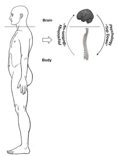 l'aller-retour entre le cerveau et le corps pour l'élaboration du plan d'actions qui se traduit en adaptation physiologique